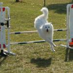 Kalee is an agility queen